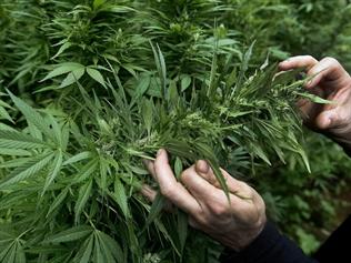marijuana to produce medicinal products