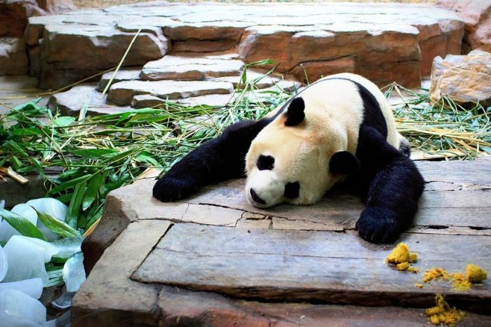 Photo: 'Panda flu' was observed at a panda conservation centre in China in 2009. (Ernest Wong/Getty Images)